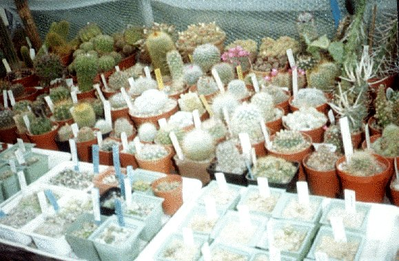 Photograph of Cacti used by cactus page of John Olsen and Shirley Olsen