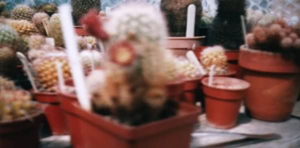 Photograph of Echinocereus finii used by cactus page of John Olsen and Shirley Olsen